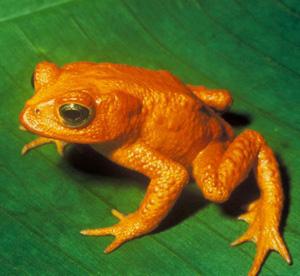 golden_toad1