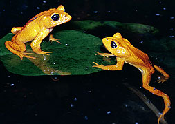 golden toads