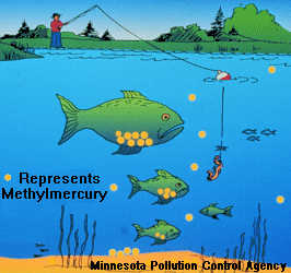 Mercury Bioaccumulation in Fish