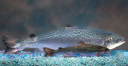 Genetically modified Salmon next to normal Atlantic salmon